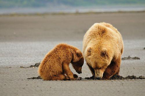 Work.5624160.5.flat,550x550,075,f.alaskan-coastal-brown-bears-lifes-lessons